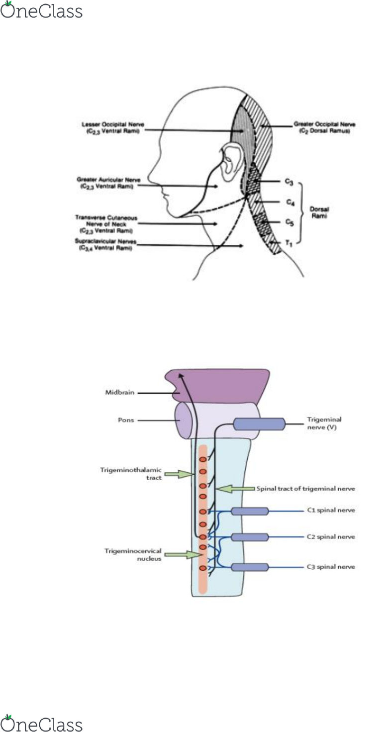 PHTY301 Lecture 14: Disorders of the Upper Cervical Spine