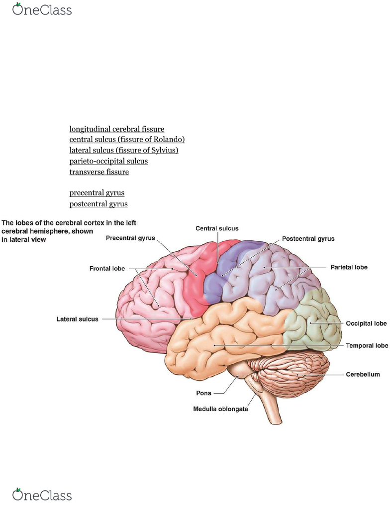 Biol 207 Study Guide Fall 2016 Midterm Parieto Occipital Sulcus Cerebral Peduncle Postcentral Gyrus The lateral postcentral gyrus is a prominent structure in the parietal lobe of the human brain. biol 207 study guide fall 2016