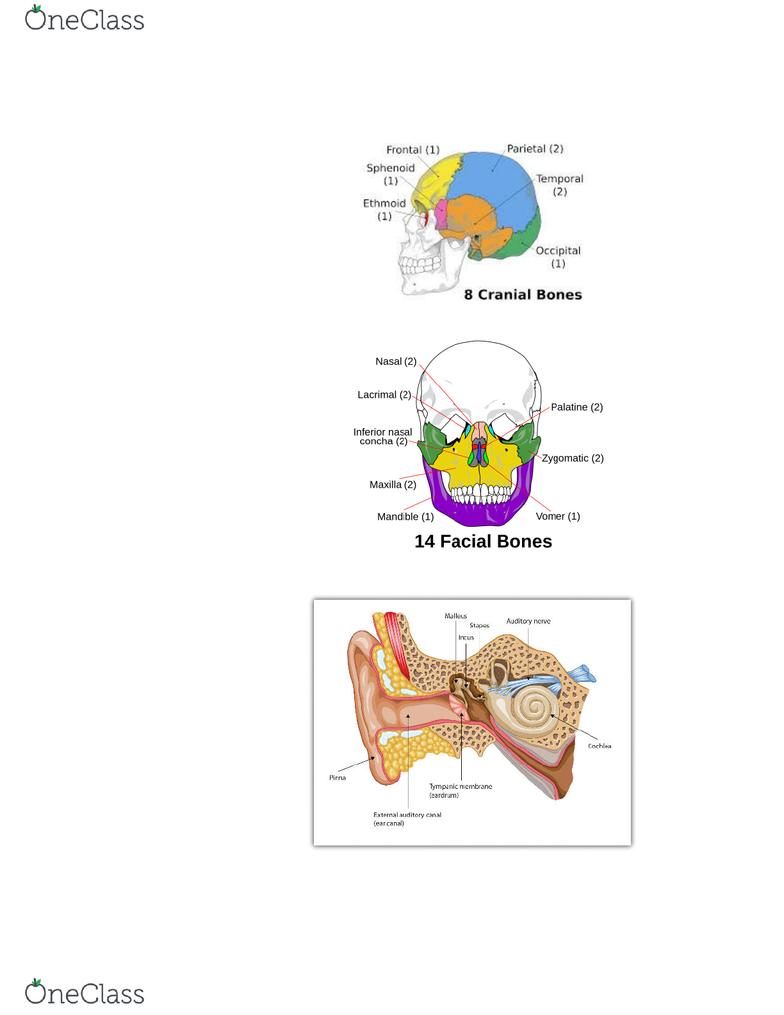 BIOL 1103 Lecture Notes - Lecture 5: Nasal Concha, Vomer, Maxilla