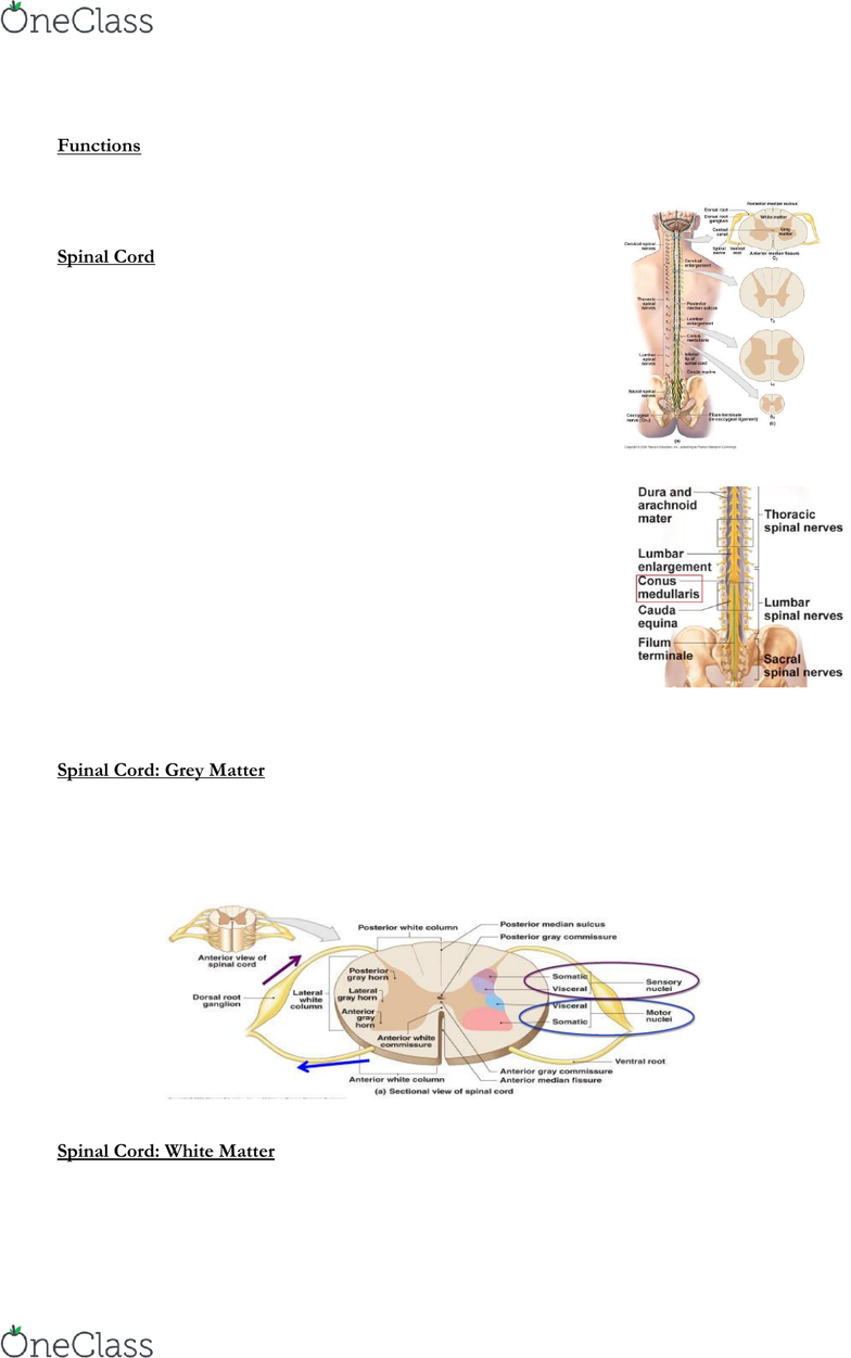 Biol124 Lecture Notes Spring 2018 Lecture 7 Filum Terminale Conus Medullaris Anterior Grey Column The filum terminale is a flexible strand of tissue that attaches the bottom of the spinal cord to the lower end of the spine. biol124 lecture notes spring 2018