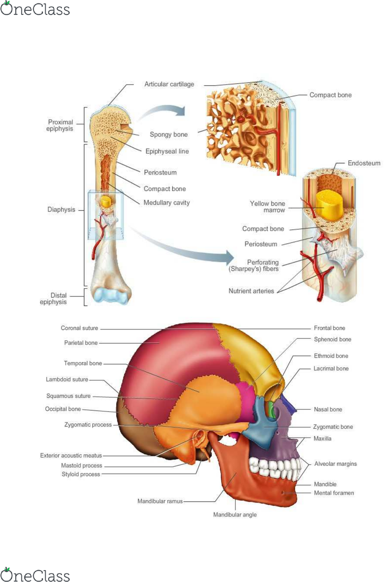 Hsc 211 Lecture 5 Chapter 5 The Skeletal System Labeling And Pics Oneclass