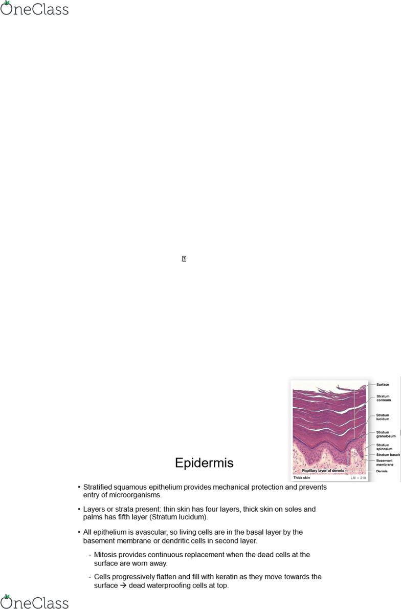 BIOL126 Lecture Notes - Lecture 1: Vitiligo, Vasodilation, Epithelium